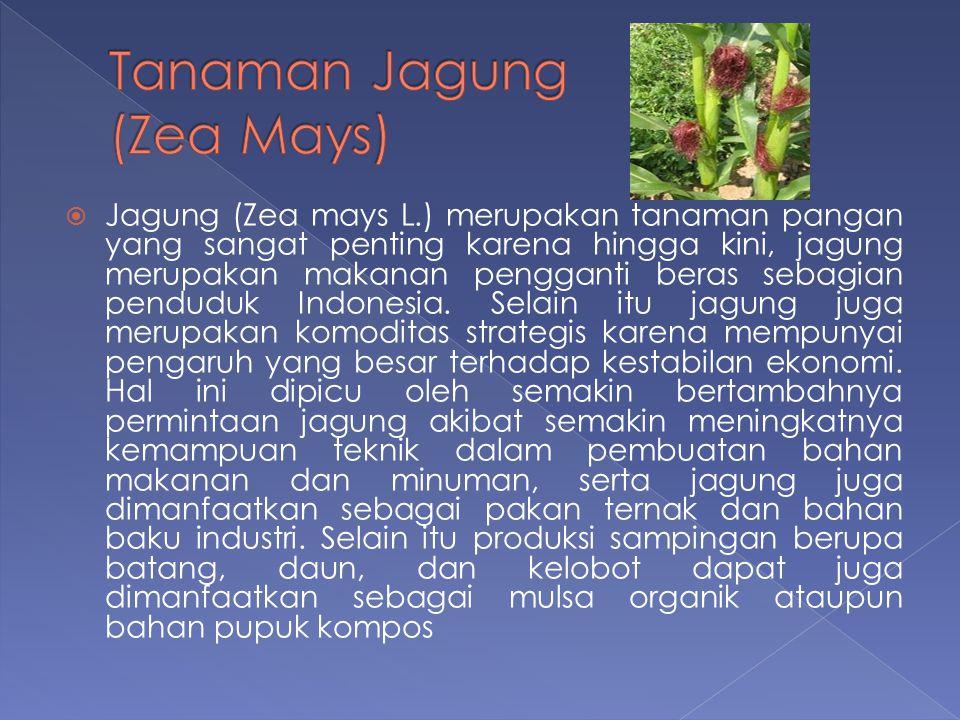  Jagung (Zea mays L.) merupakan tanaman pangan yang sangat penting karena hingga kini, jagung merupakan makanan pengganti beras sebagian penduduk Ind