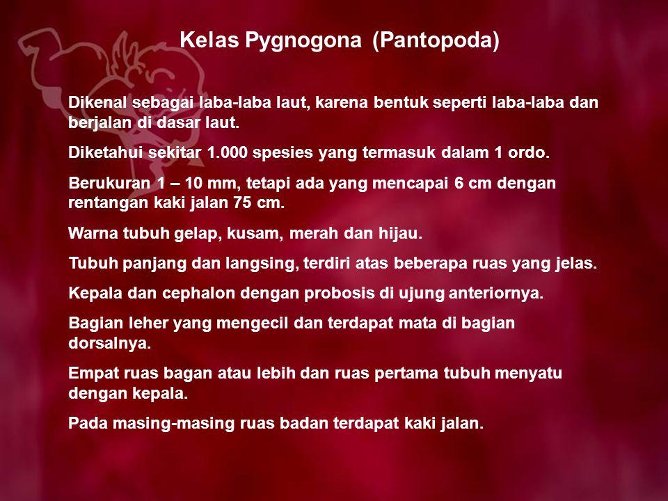 Kelas Pygnogona (Pantopoda) Dikenal sebagai laba-laba laut, karena bentuk seperti laba-laba dan berjalan di dasar laut. Diketahui sekitar 1.000 spesie