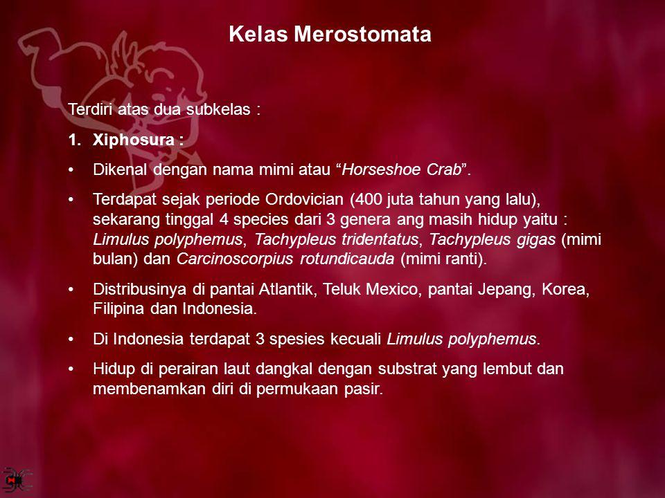 "Kelas Merostomata Terdiri atas dua subkelas : 1.Xiphosura : Dikenal dengan nama mimi atau ""Horseshoe Crab"". Terdapat sejak periode Ordovician (400 jut"