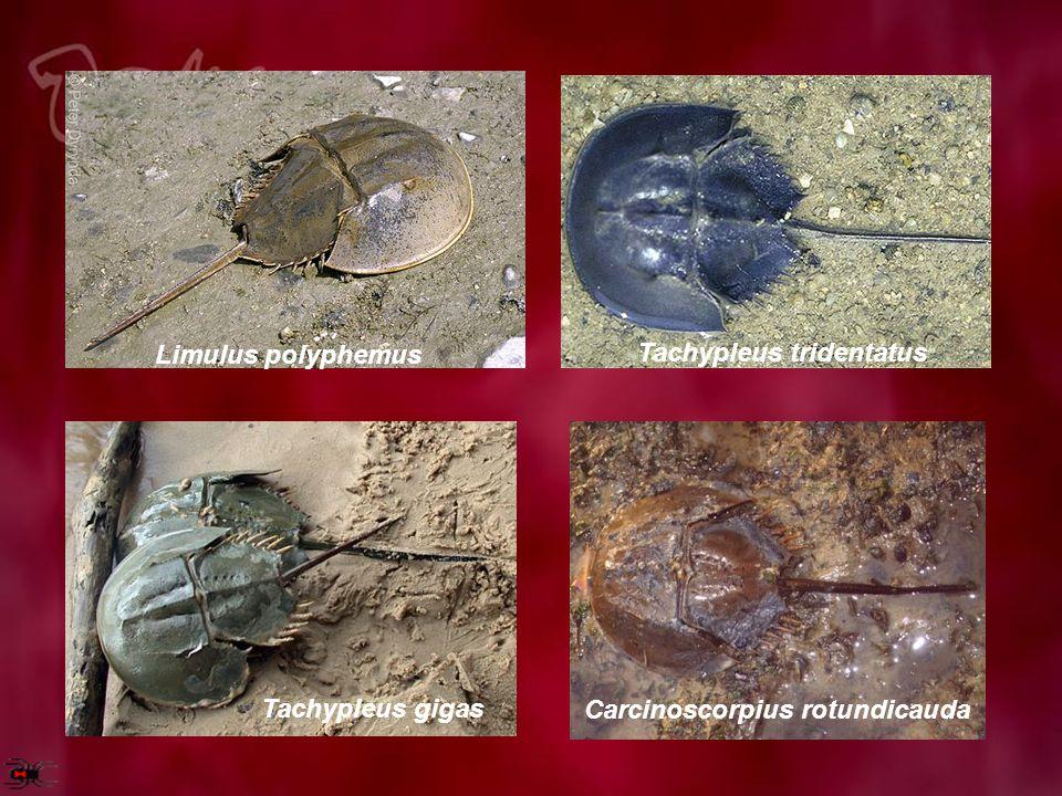 Abdomen pada mimi disebut opistomata memiliki 6 apendiks, pasangan apendiks pertama disebut chelicera terletak pada cephalothorax, sedangkan 5 apendiks di belakangnya merupakan insang.