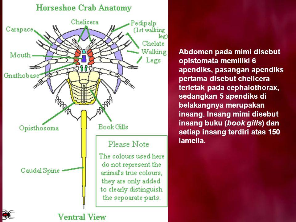 Abdomen pada mimi disebut opistomata memiliki 6 apendiks, pasangan apendiks pertama disebut chelicera terletak pada cephalothorax, sedangkan 5 apendik