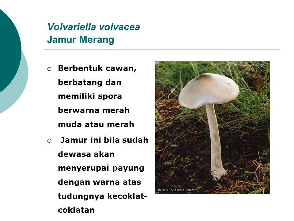 Volvariella volvacea Jamur Merang  Berbentuk cawan, berbatang dan memiliki spora berwarna merah muda atau merah  Jamur ini bila sudah dewasa akan me