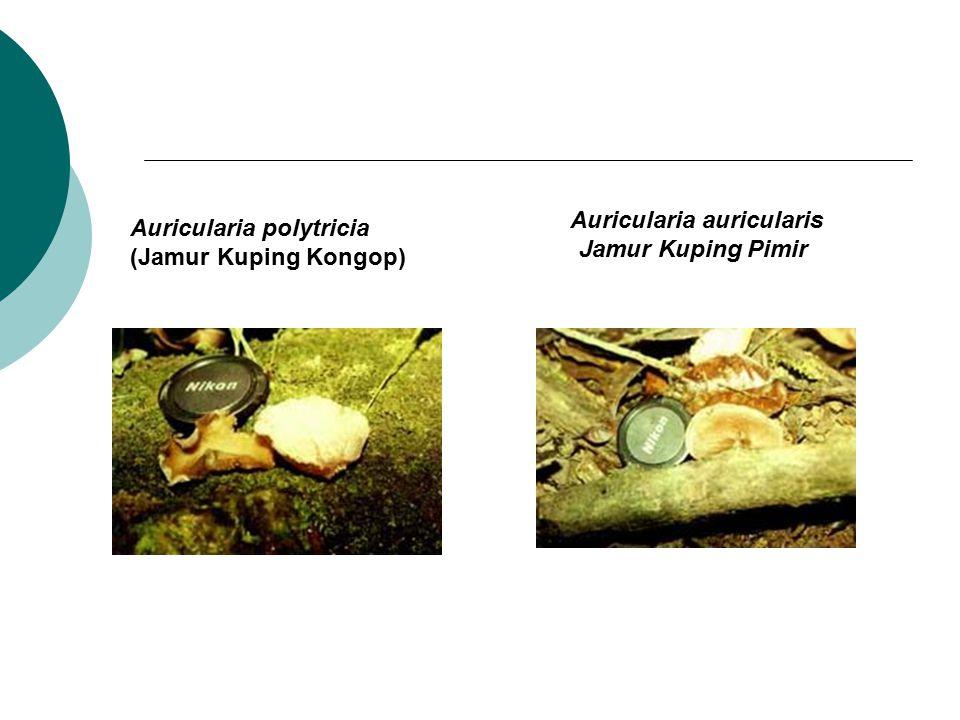 Auricularia polytricia (Jamur Kuping Kongop) Auricularia auricularis Jamur Kuping Pimir