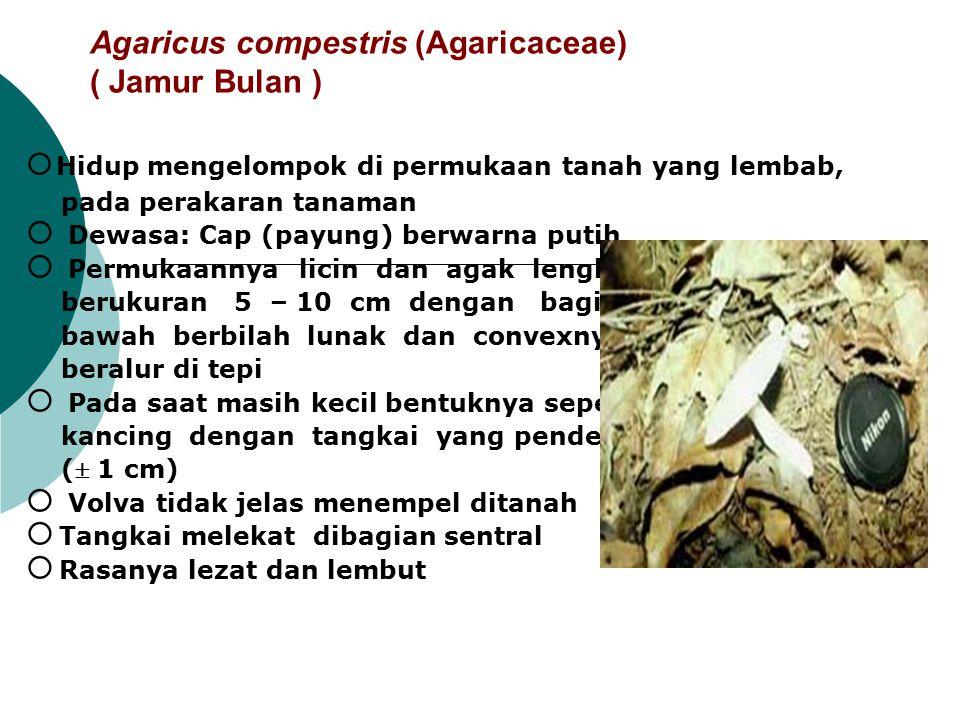 Agaricus compestris (Agaricaceae) ( Jamur Bulan )  Hidup mengelompok di permukaan tanah yang lembab, pada perakaran tanaman  Dewasa: Cap (payung) be