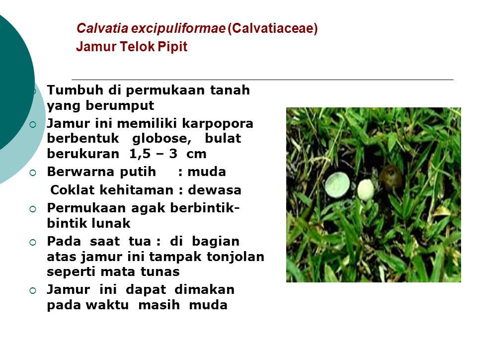 Calvatia excipuliformae (Calvatiaceae) Jamur Telok Pipit  Tumbuh di permukaan tanah yang berumput  Jamur ini memiliki karpopora berbentuk globose, b