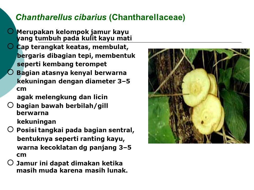 Chantharellus cibarius (Chantharellaceae)  Merupakan kelompok jamur kayu yang tumbuh pada kulit kayu mati  Cap terangkat keatas, membulat, bergaris