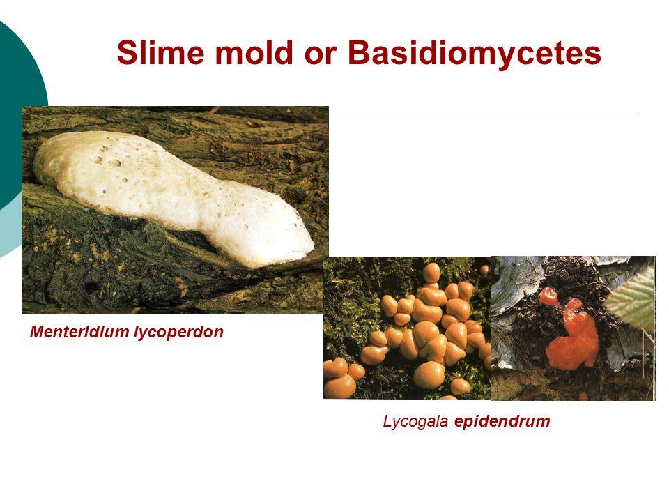 Slime mold or Basidiomycetes Menteridium lycoperdon Lycogala epidendrum