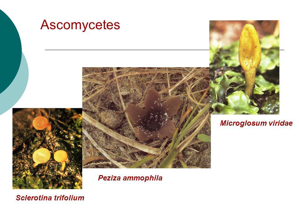 Ascomycetes Microglosum viridae Peziza ammophila Sclerotina trifolium
