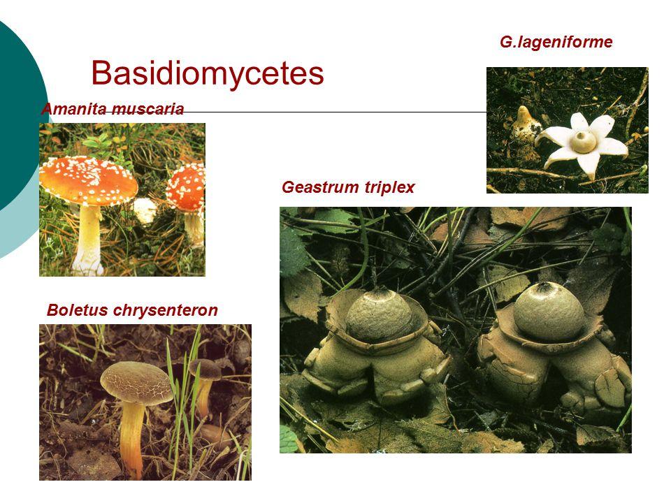 Basidiomycetes Amanita muscaria Boletus chrysenteron Geastrum triplex G.lageniforme