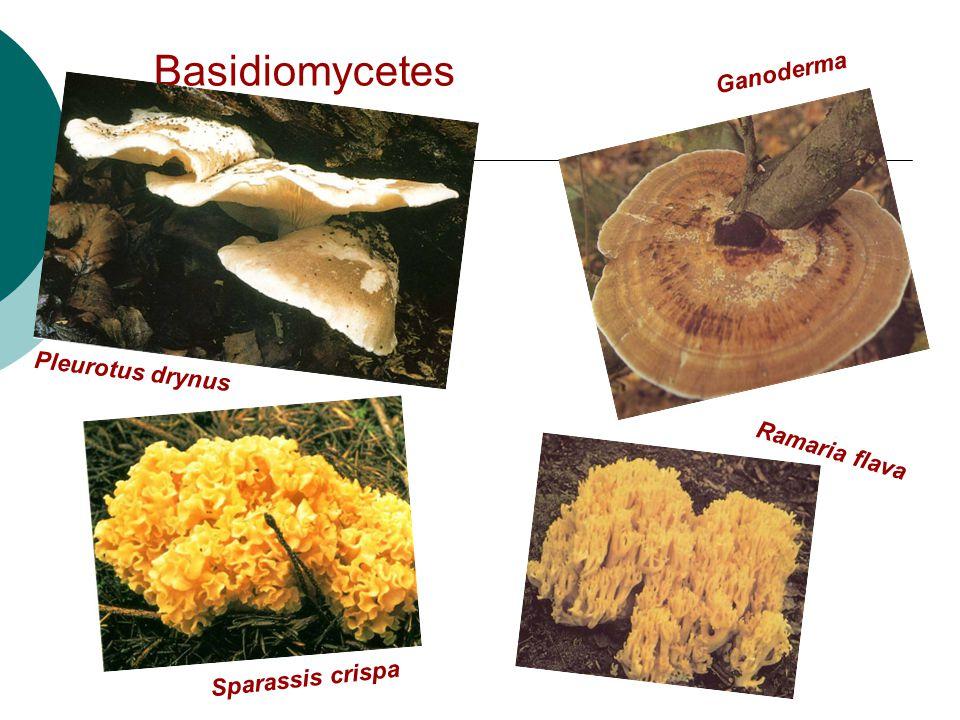 Basidiomycetes Pleurotus drynus Ramaria flava Ganoderma Sparassis crispa