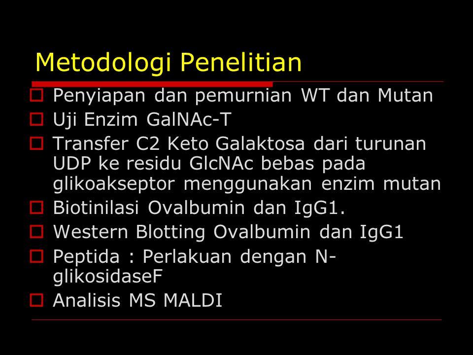 Metodologi Penelitian  Penyiapan dan pemurnian WT dan Mutan  Uji Enzim GalNAc-T  Transfer C2 Keto Galaktosa dari turunan UDP ke residu GlcNAc bebas