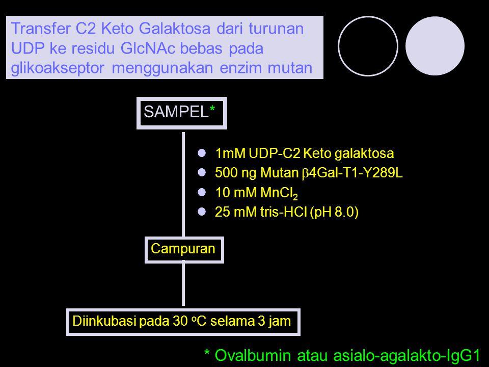 1mM UDP-C2 Keto galaktosa 500 ng Mutan  4Gal-T1-Y289L 10 mM MnCl 2 25 mM tris-HCl (pH 8.0) Campuran Diinkubasi pada 30 o C selama 3 jam Transfer C2 K