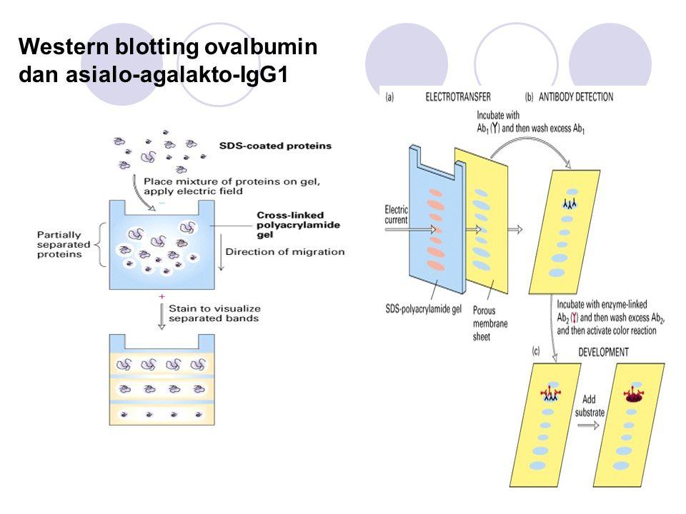 Western blotting ovalbumin dan asialo-agalakto-IgG1