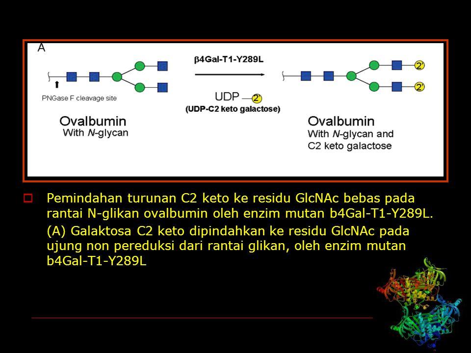  Pemindahan turunan C2 keto ke residu GlcNAc bebas pada rantai N-glikan ovalbumin oleh enzim mutan b4Gal-T1-Y289L. (A) Galaktosa C2 keto dipindahkan