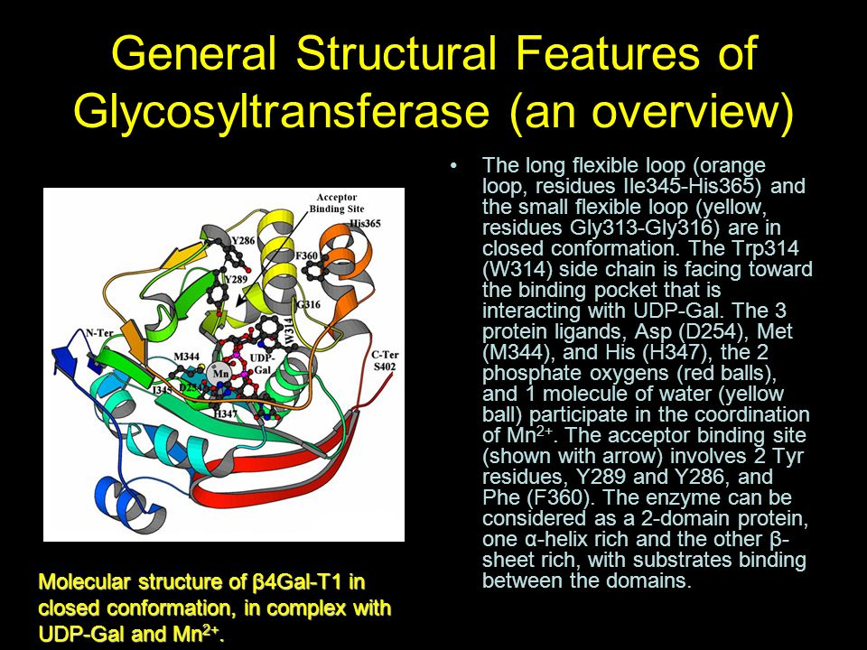 General Structural Features of Glycosyltransferase (an overview) The long flexible loop (orange loop, residues Ile345-His365) and the small flexible l