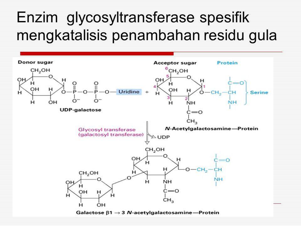 Protein with labeled keton campuran NaOAc 50 mM pH 3.9 dan N-Aminooksimetilkarbonilhidroksino-D- biotin Inkubasi 25 o C 12-16 jam Biotinilasi Ovalbumin dan IgG1.