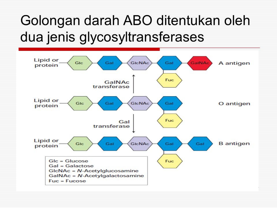 Golongan darah ABO ditentukan oleh dua jenis glycosyltransferases