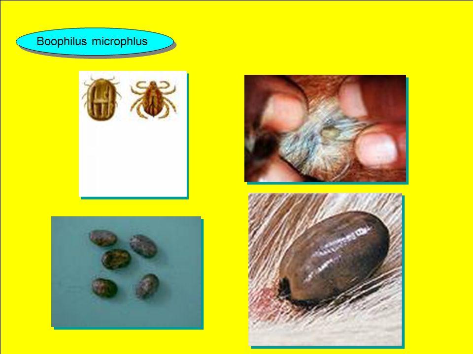 SIKLUS HIDUP Telur caplak menetas dalam waktu 2 – 10 minggu Larva Merambat dan menempel pada ujung rambut pada hewan yang merumput Nimfe Dewasa 1.Capl
