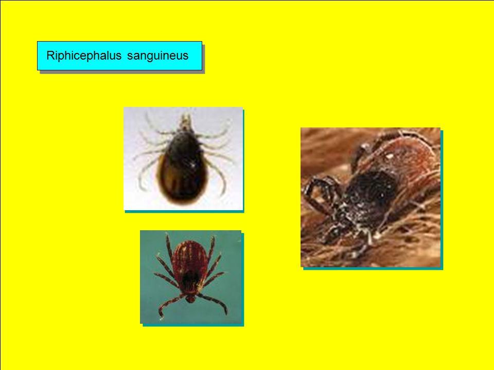 Boophilus microphlus