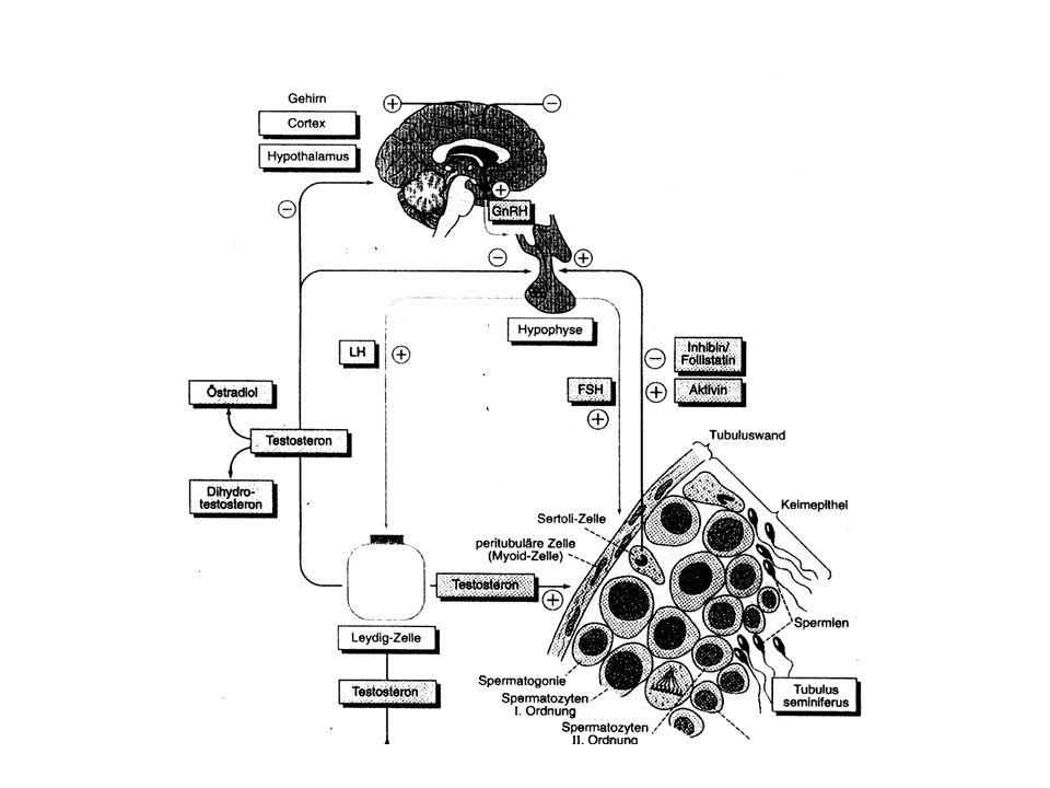 Interaksi Gonadotropin dengan Sel Target Reseptor FSH dan LH adalah protein permukaan (membran sel) Interaksi FSH dan LH dengan reseptor mengaktifkan protein G yang meneruskan isyarat ke efektor adenil siklase Adenil siklase menterjemahkan isyarat dengan mensintesis second messenger cAMP dari ATP cAMP mengaktifkan enzim-enzim fosforilase kinase yang secara bertahap mengaktifkan enzim untuk reaksi-reaksi seluler, sebagai manifestasi reaksi sel terhadap hormon