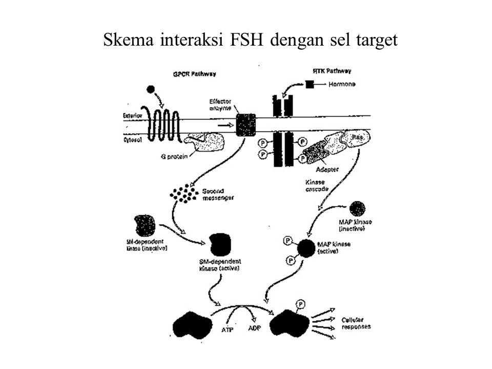 Interaksi Testosteron dengan Sel Target Testosteron berdifusi melalui membran sel target, bergabung dengan reseptor dalam sitoplasma Translokasi kompleks hormon-reseptor ke nukleus Transformasi kompleks hormon-reseptor menjadi DNA binding protein DNA binding protein membentuk dimer pada promoter dan berasosiasi dengan transcription factor e.g.