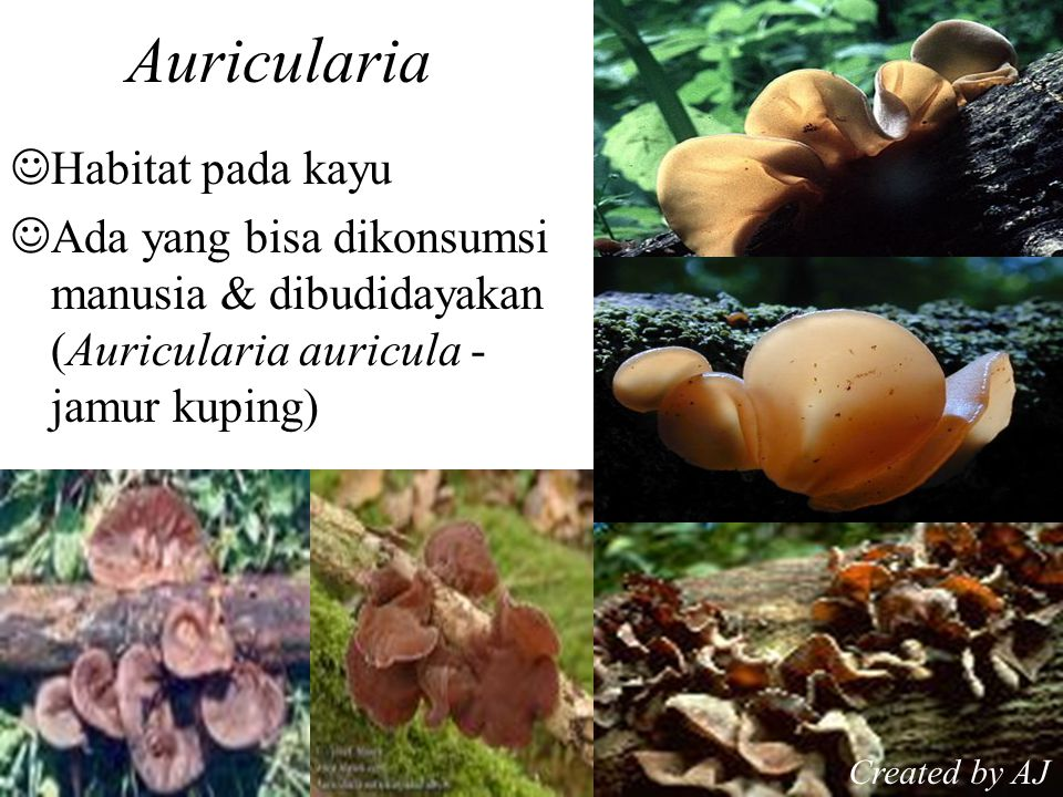 Auricularia Habitat pada kayu Ada yang bisa dikonsumsi manusia & dibudidayakan (Auricularia auricula - jamur kuping) Created by AJ