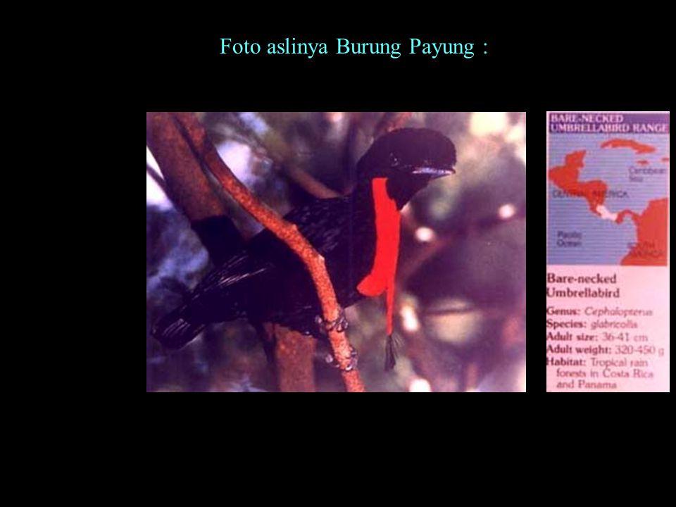 Nama : Burung Payung Ukuran: 80 cm x 70 cm Cat minyak di atas kanvas Kawasan: Amerika Tengah Pelukis: fahmi basya Di lehernya ada tali dari sabut (Al-Quran, surat Al-Lahhab, ke 111, ayat 5)