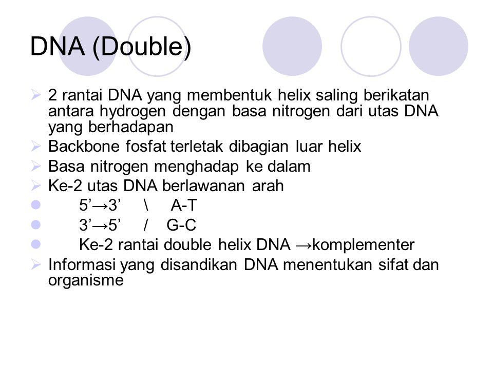 DNA (Double)  2 rantai DNA yang membentuk helix saling berikatan antara hydrogen dengan basa nitrogen dari utas DNA yang berhadapan  Backbone fosfat