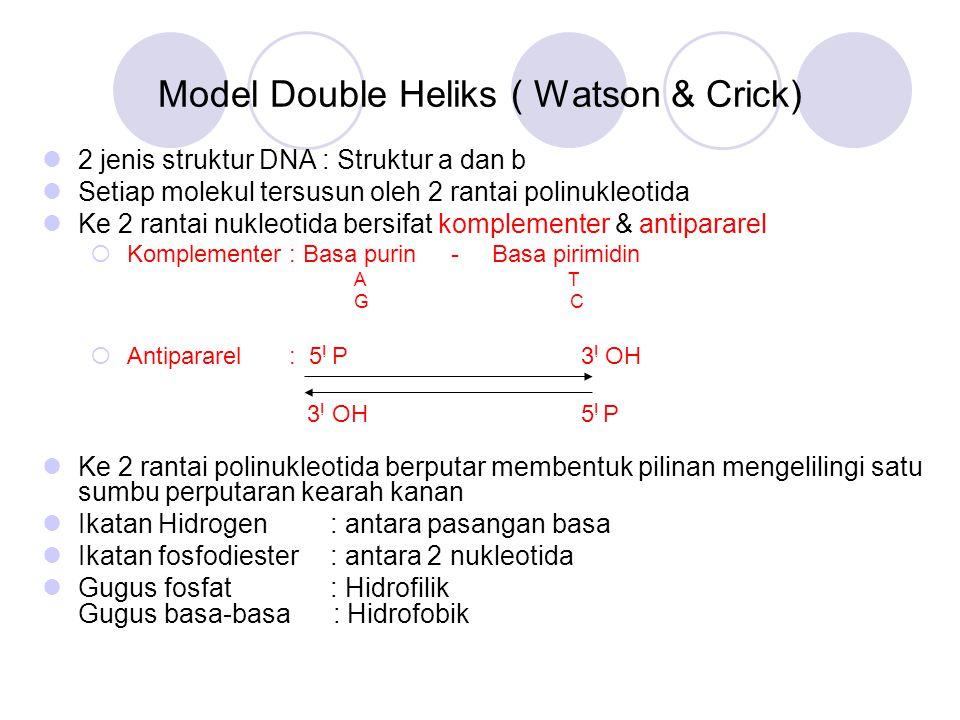 Model Double Heliks ( Watson & Crick) 2 jenis struktur DNA : Struktur a dan b Setiap molekul tersusun oleh 2 rantai polinukleotida Ke 2 rantai nukleot