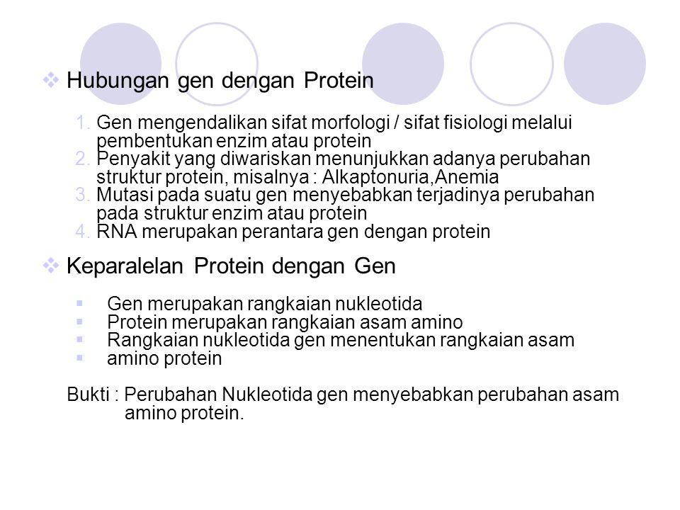  Hubungan gen dengan Protein 1.Gen mengendalikan sifat morfologi / sifat fisiologi melalui pembentukan enzim atau protein 2.Penyakit yang diwariskan