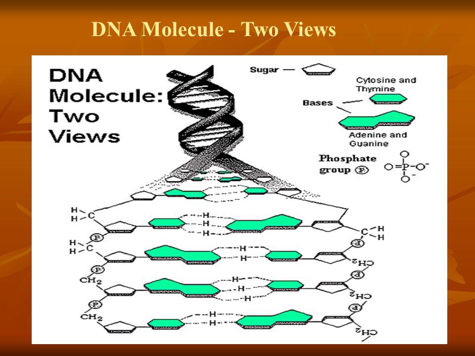 DNA Molecule - Two Views