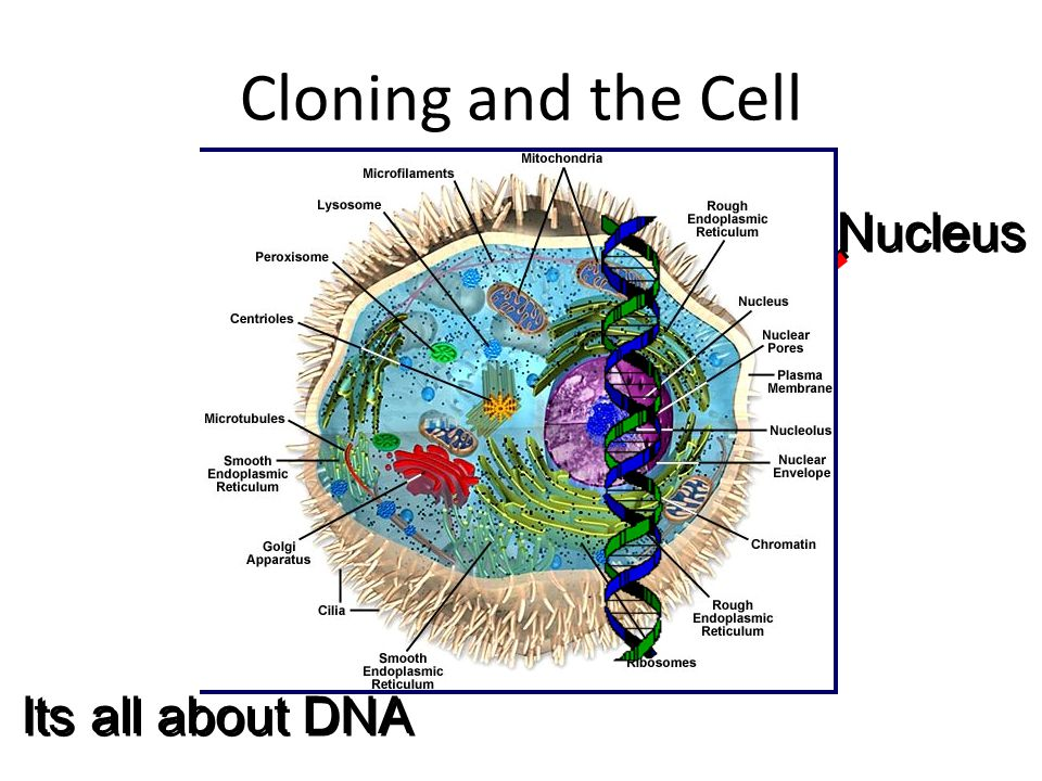 Nucleus Cloning and the Cell Its all about DNA