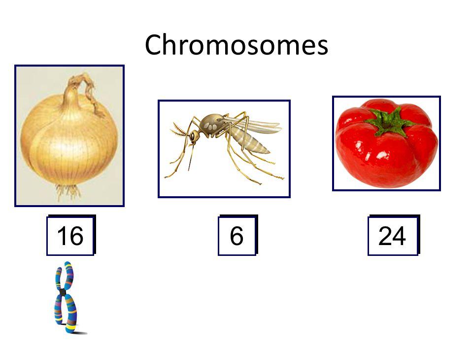 Chromosomes 16 6 6 24