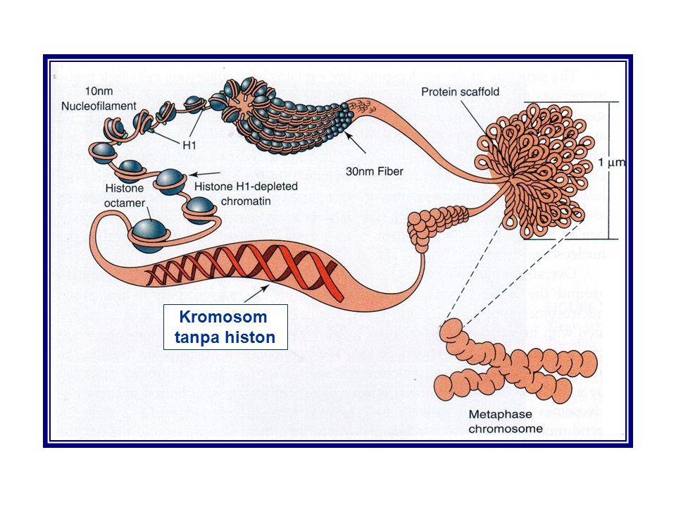 Kromosom tanpa histon