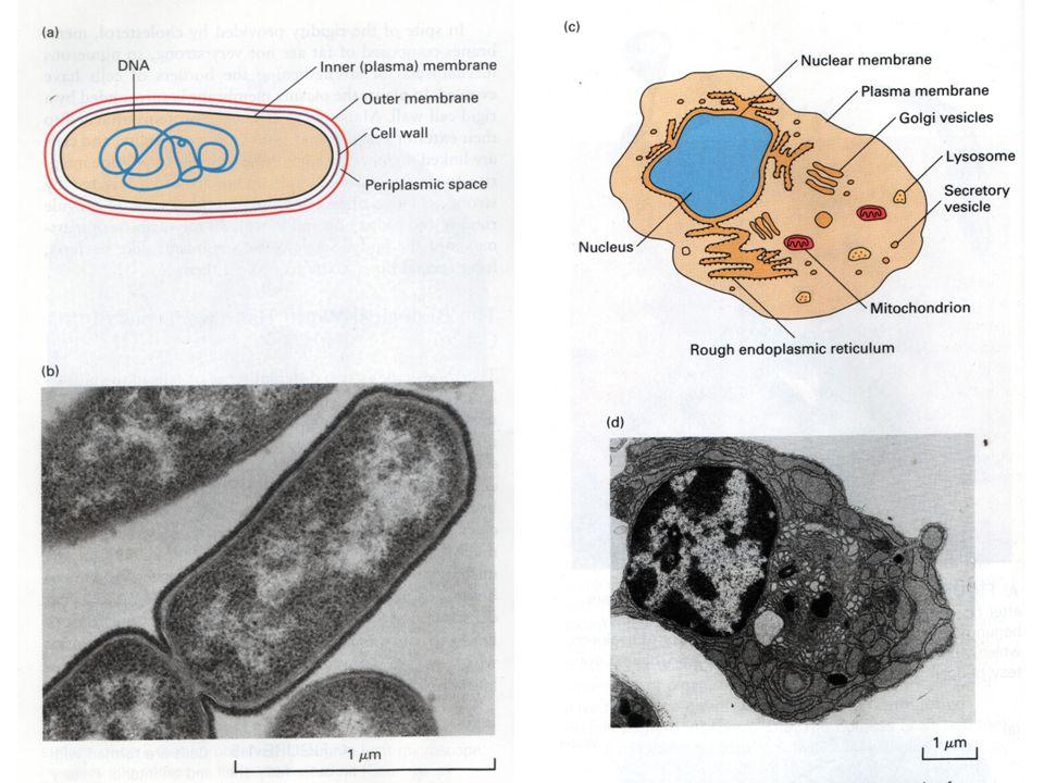 ProkariotEukariot Organisme Bakteria dan sianobakteria Fungi, hewan, manusia Ukuran sel 1 - 10  m 5 - 100  m Organel Beberapa / tidak ada Inti, mitokondria, kloroplast GENOM Sirkuler dalam sitoplasma, Satu molekul kromosom Linier panjang, dipak rapi dgn protein histon dalam inti.