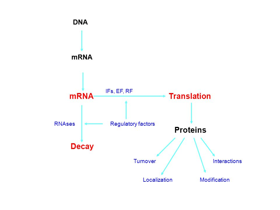 mRNATranslation RNAses Decay Proteins TurnoverInteractions Modification Regulatory factors Localization DNA mRNA IFs, EF, RF