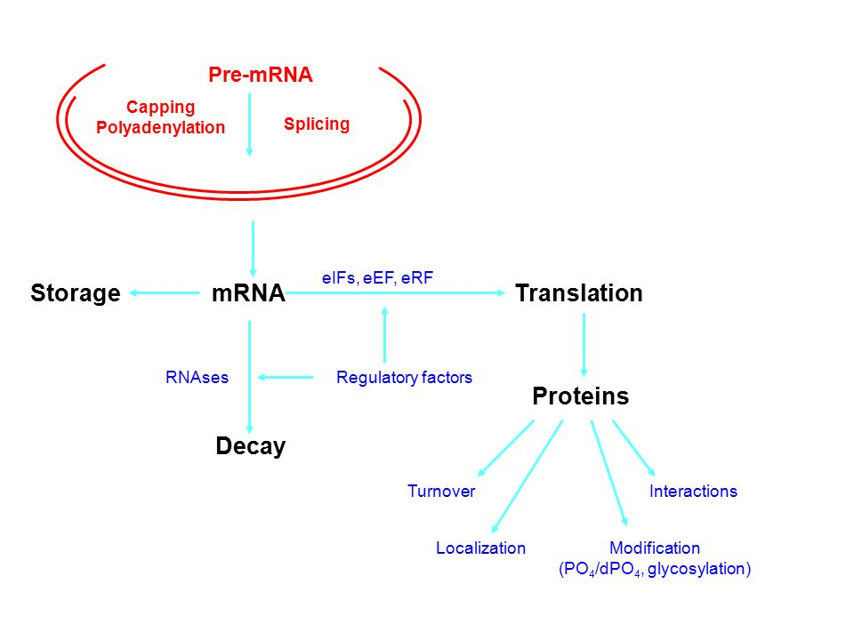 mRNAStorageTranslation RNAses Decay Proteins TurnoverInteractions Modification (PO 4 /dPO 4, glycosylation) Regulatory factors Localization Pre-mRNA C