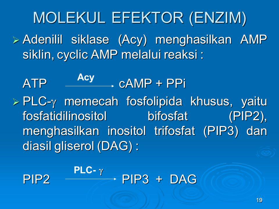19 MOLEKUL EFEKTOR (ENZIM)  Adenilil siklase (Acy) menghasilkan AMP siklin, cyclic AMP melalui reaksi : ATP cAMP + PPi  PLC-  memecah fosfolipida k