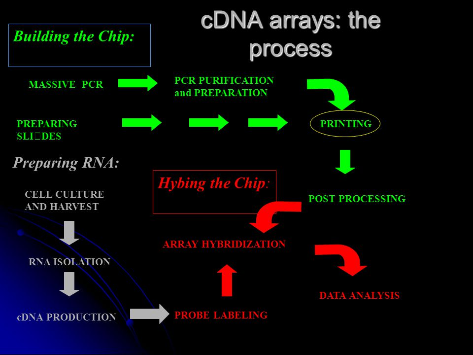 cDNA arrays: the process Building the Chip: PCR PURIFICATION and PREPARATION POST PROCESSING MASSIVE PCR PREPARING SLIDESPRINTING Preparing RNA: CELL CULTURE AND HARVEST RNA ISOLATION cDNA PRODUCTION Hybing the Chip: ARRAY HYBRIDIZATION PROBE LABELING DATA ANALYSIS