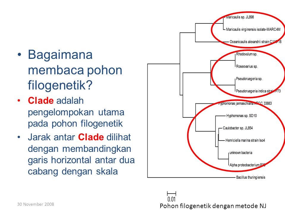 30 November 2008 Bagaimana membaca pohon filogenetik.