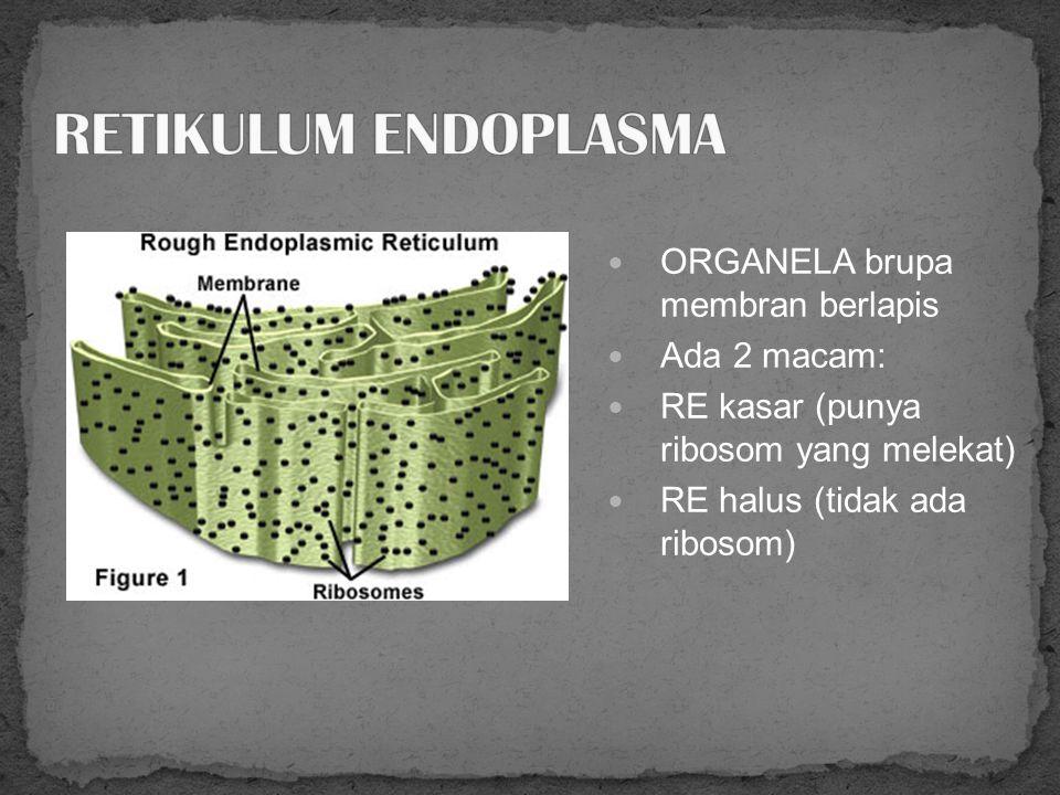 Organel non membran kecil. Terdiri dari 2 sub unit: besar dan kecil Untuk SINTESIS PROTEIN Terikat pada retikulum endoplasma atau bebas