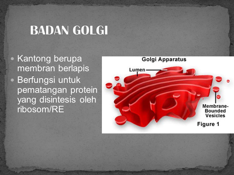 ORGANELA brupa membran berlapis Ada 2 macam: RE kasar (punya ribosom yang melekat) RE halus (tidak ada ribosom)