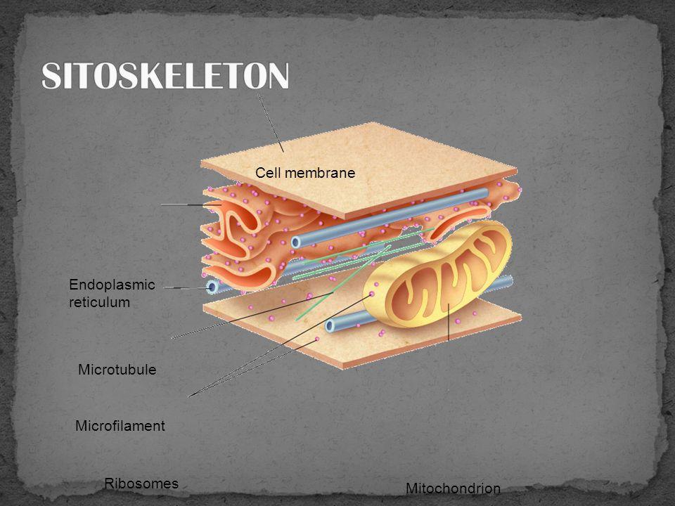 Berpasangan, berada dekat nukleus pada sisi yang berlawanan Berperan dalam strutur filia/flagel Berperan saat pembelahan sel