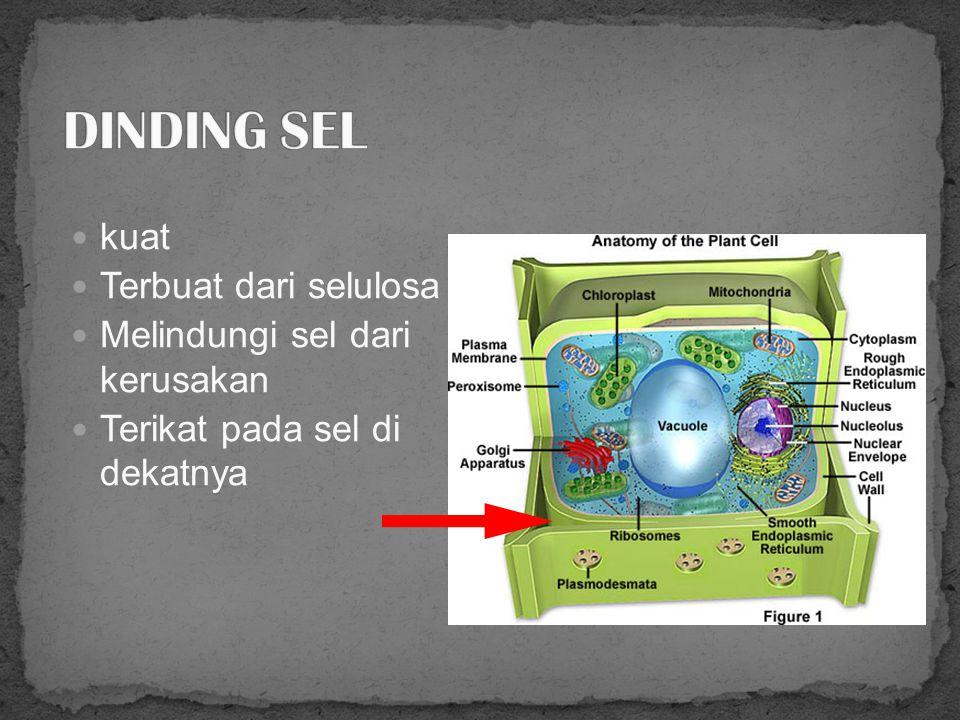 Utk mencerna makanan dan menjaga air/tekanan air dalam sel Berukuran besar.
