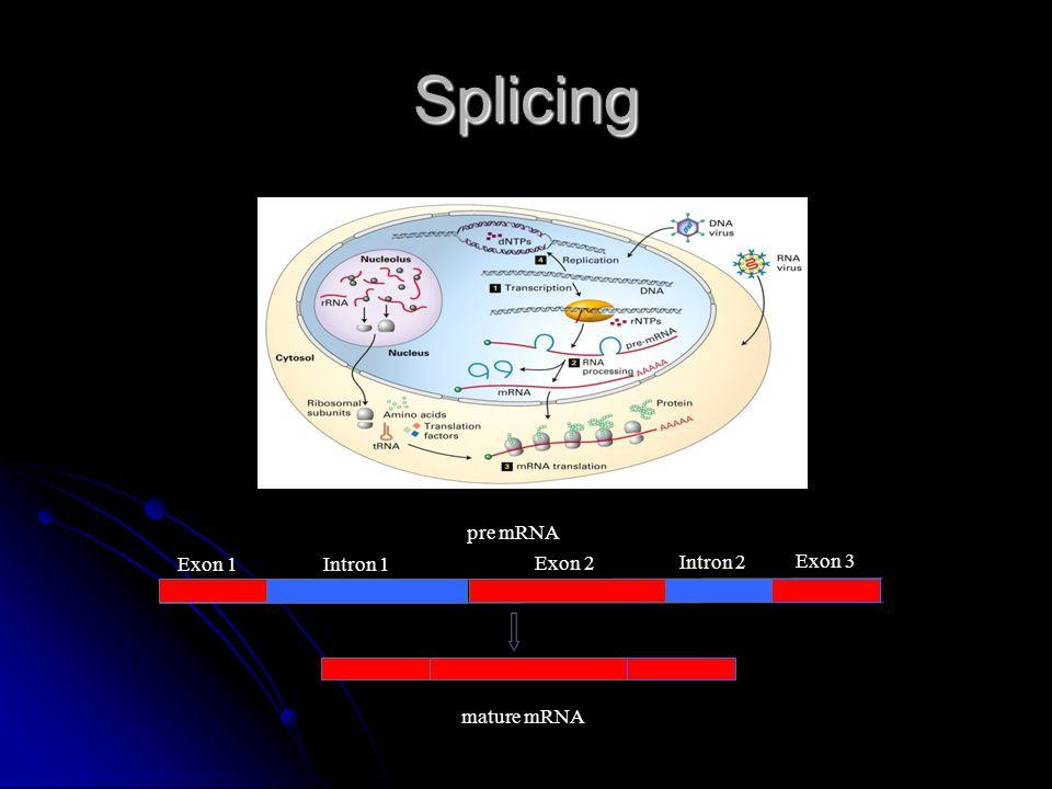 Splicing pre mRNA Exon 1 Exon 2 Exon 3 Intron 1 Intron 2 mature mRNA