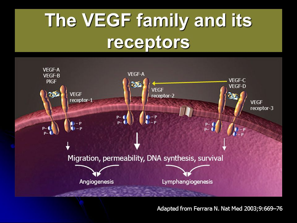 The VEGF family and its receptors Adapted from Ferrara N. Nat Med 2003;9:669–76 Migration, permeability, DNA synthesis, survival Lymphangiogenesis – P