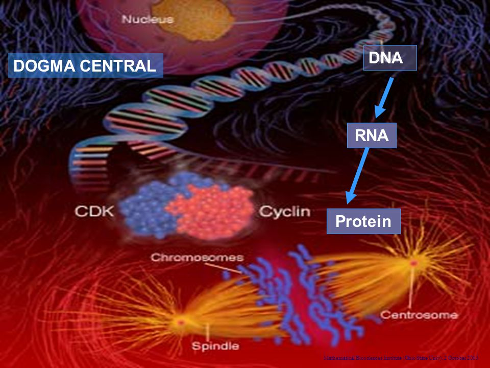 Mathematical Biosciences Institute (Ohio State Univ), 2 October 2003 RNA Protein DNA DOGMA CENTRAL