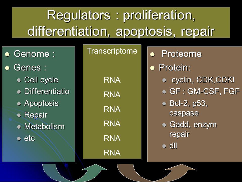 Regulators : proliferation, differentiation, apoptosis, repair Genome : Genome : Genes : Genes : Cell cycle Cell cycle Differentiatio Differentiatio Apoptosis Apoptosis Repair Repair Metabolism Metabolism etc etc Proteome Proteome Protein: Protein: cyclin, CDK,CDKI cyclin, CDK,CDKI GF : GM-CSF, FGF GF : GM-CSF, FGF Bcl-2, p53, caspase Bcl-2, p53, caspase Gadd, enzym repair Gadd, enzym repair dll dll Transcriptome RNA