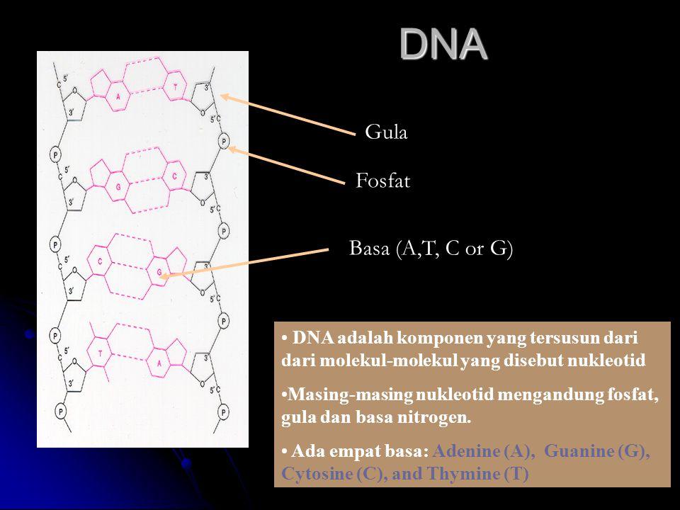 DNA Fosfat Basa (A,T, C or G) Gula DNA adalah komponen yang tersusun dari dari molekul-molekul yang disebut nukleotid Masing-masing nukleotid mengandung fosfat, gula dan basa nitrogen.