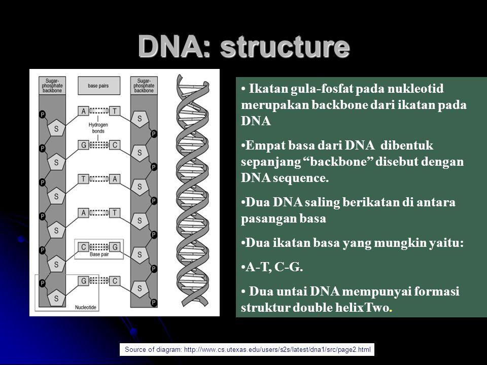 "DNA: structure Ikatan gula-fosfat pada nukleotid merupakan backbone dari ikatan pada DNA Empat basa dari DNA dibentuk sepanjang ""backbone"" disebut den"